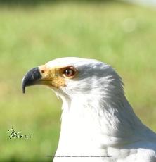 Motiv-Umhängetasche Adler