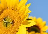Postkarte Bienchen mit Sonnenblumen